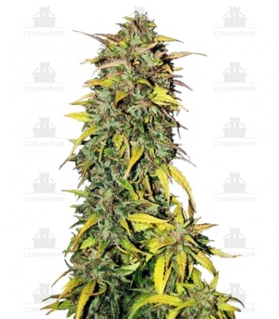 Сорт Black Jack Auto fem (Sweet Seeds)