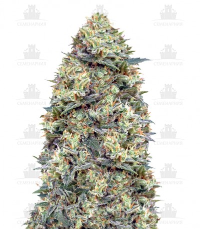 White-Widow-auto-kust-konopli.jpg