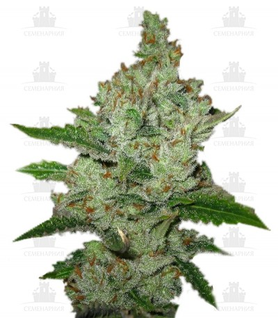 Сорт Super Lemon Haze fem (Green House Seeds)