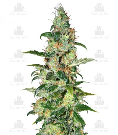 Сорт Chronic Haze fem (World of Seeds)