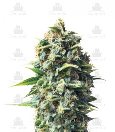 Сорт Pineapple Kush fem (Royal Queen Seeds)