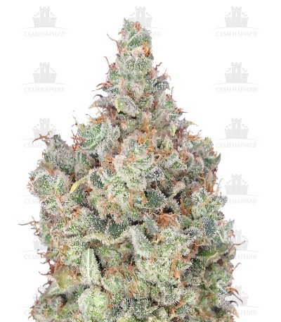 Сорт Total Paralysis fem (Heavyweight Seeds)