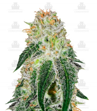 Сорт Black Russian fem (Delicious Seeds)