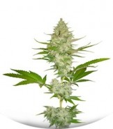 Сорт Candy Kush Express fem (Fast Flowering)