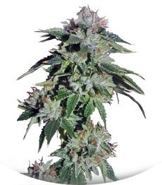 Сорт Pure Kush fem (Green House Seeds)