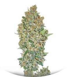 Сорт Hashchis Berry (Cheese Berry) fem