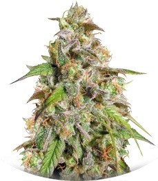 Сорт Cannatonic reg (Resin Seeds)