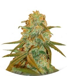 Сорт Lemon Skunk fem (Green House Seeds)