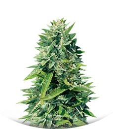 Сорт Crystal Queen fem (Vision Seeds)