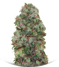 Сорт Bubble Gum fem (00 Seeds)