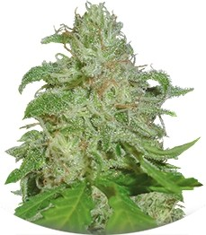 Сорт Sweet Black Angel fem (Samsara Seeds)