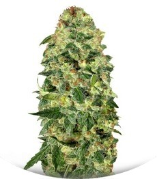 Сорт Auto California Kush fem (00 Seeds)
