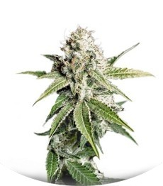 Сорт White Widow fem (Green House Seeds)
