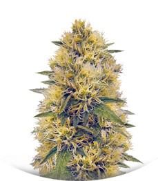 Сорт Big Bud fem (Vision Seeds)