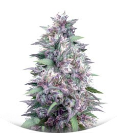 Сорт Blue Power fem (Vision Seeds)