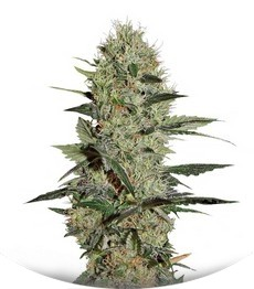 Сорт Exodus Cheese Autoflowering fem (Green House Seeds)