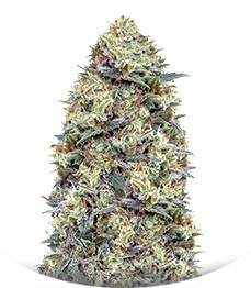 Сорт Auto White Widow fem (00 Seeds)