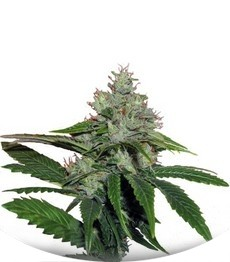 Сорт TrainWreck fem (Green House Seeds)