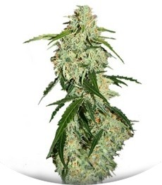 Сорт Big Bang Auto fem (Green House Seeds)
