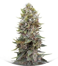 Сорт Auto Hashchis Berry (Auto Cheese Berry) fem