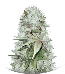Сорт Mighty Mango Bud fem (Vision Seeds)