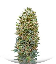 Сорт Auto Bubble Gum fem (00 Seeds)