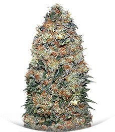 Сорт White Widow fem (00 Seeds)