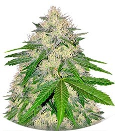 Сорт Berries & Cheese fem (Sumo Seeds)