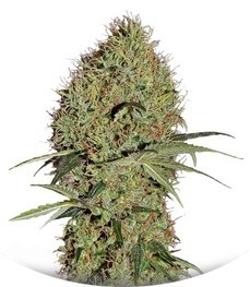 Сорт Super Bud Auto fem (Green House Seeds)
